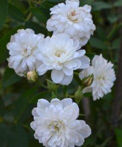 villa borghese rose novaspina