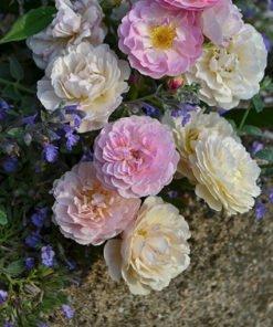 Villa-fidelia rose novaspina