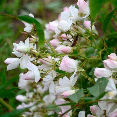 Rose Moscata e loro Ibridi