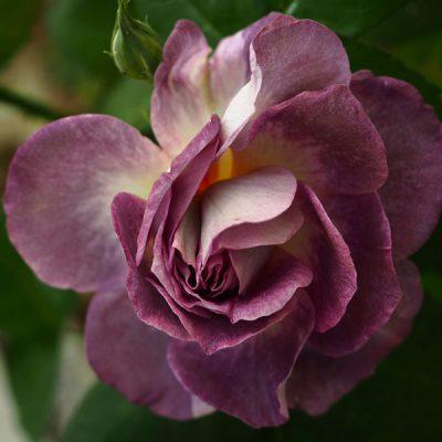 Les Provencelles® - Rose D. Massad