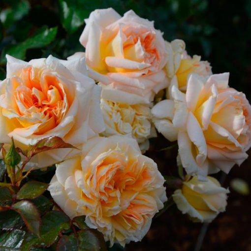 Lacalissonne_rose_novaspina