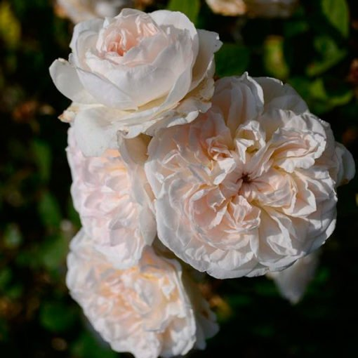 latintoretta rose novaspina