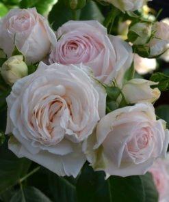 Rosenkavalier_rose_novaspina03
