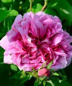 andrea-gabrieli-rose_novaspina01