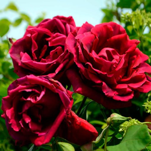 crimson-glory_rose_novaspina