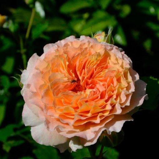 jef-lartiste rose novaspina