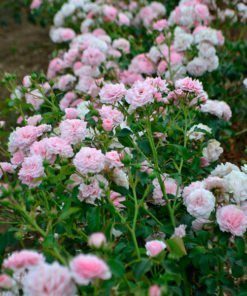 Floribunda o Rosai a Mazzi