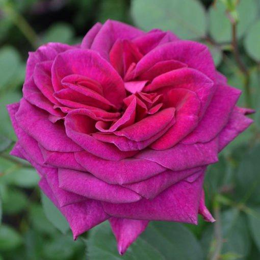 Blackberry-nip rose novaspina