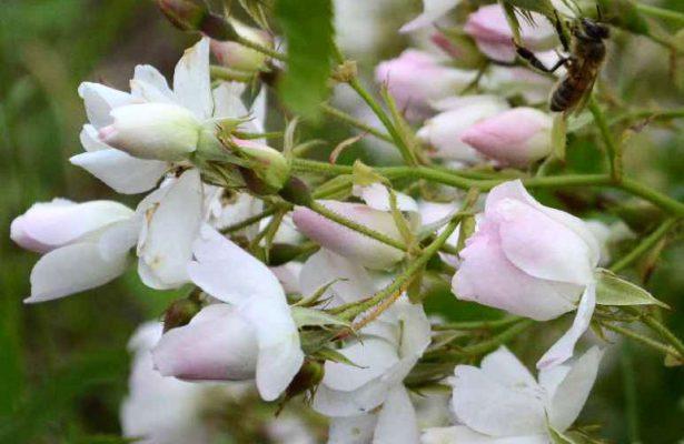 Come-Potare_rose_arbustiva