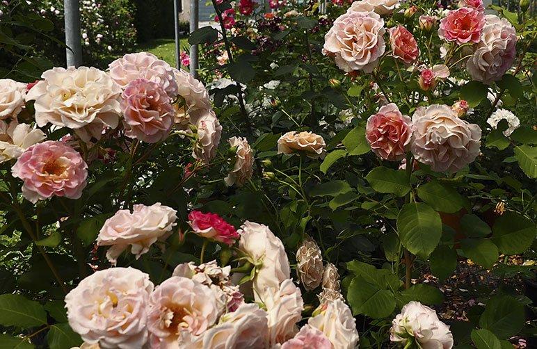 come_Concimare_le_rose