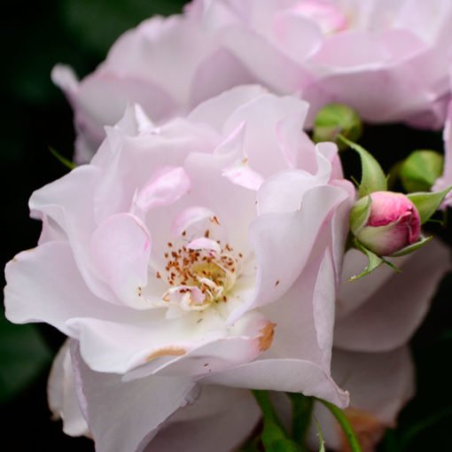 Declic_rose_novaspina