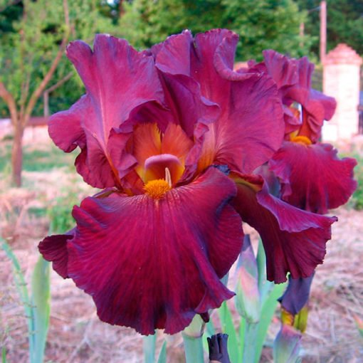 Dragone-iris-novaspina