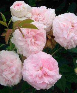 Felicite Parmentier rose novaspina