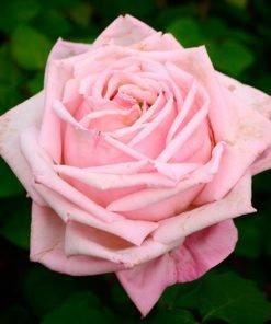 Geffel_rose_novaspina