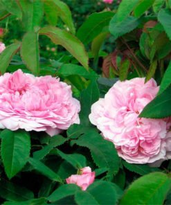 Jacques-cartier_rose_novaspina