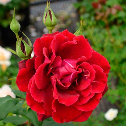 Jardiniero-Ortiz_rose_novaspina