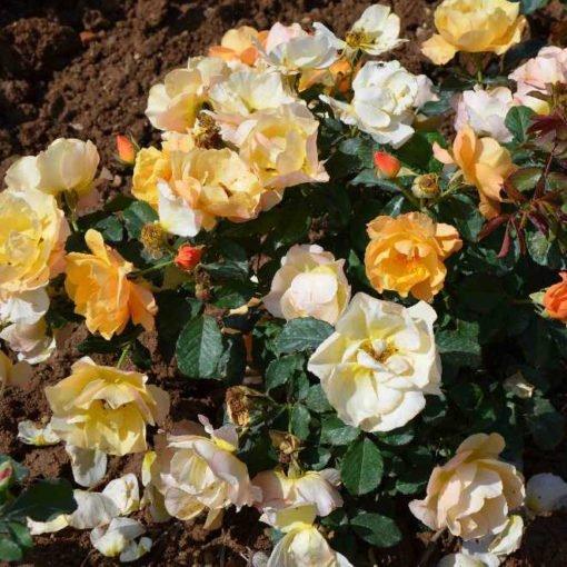 L'elegante du pyla rose novaspina