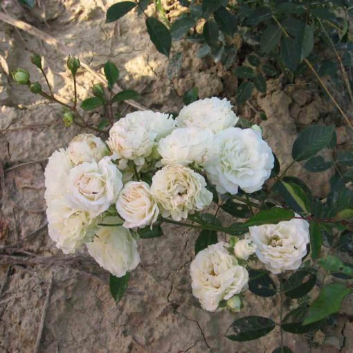 MarieJeanne rose novaspina