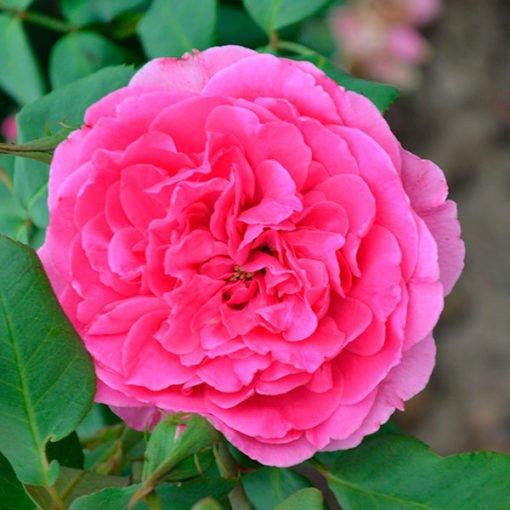 Parade_rose_novaspina