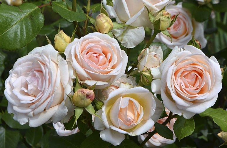 Potatura_rose_grandi_fiori_rose_novaspina