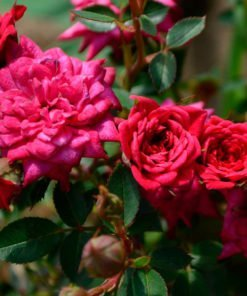 Prato-rosso_rose_novaspina