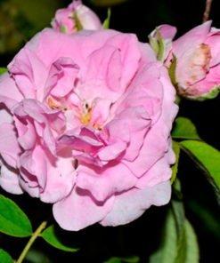 Quatre-Saison_Rose_novaspina