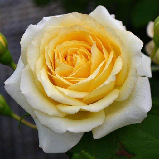 RivedouxPlage rose novaspina