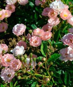 Souvenir-d-adolphe-turc_rose_novaspina