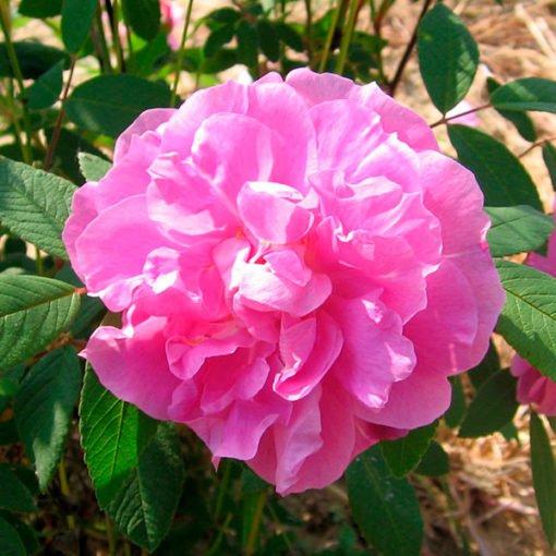 Therese-Bugnet_rose_novaspina