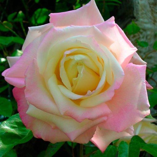 White-maman-cochet_rose_novaspina
