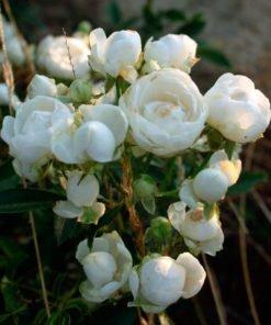 White_Koster_rose_novaspina
