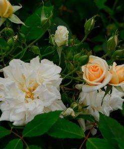 alister-stella-grey-rose-novaspina01