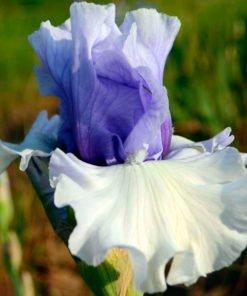 alpenview iris novaspina