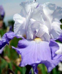 Andante con Brio Iris Novaspina