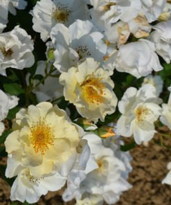 autumn-delight rose novaspina