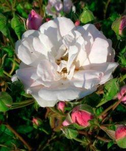 blush_noisette_rose_novaspina