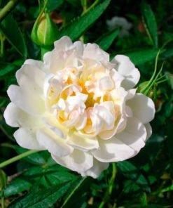 canina_cannabifolia_rose_novaspina