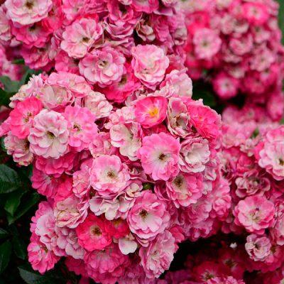 Rosai Miniatura
