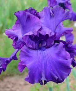 devilslake iris novaspina