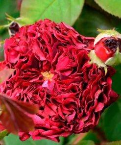 fosca rose novaspina