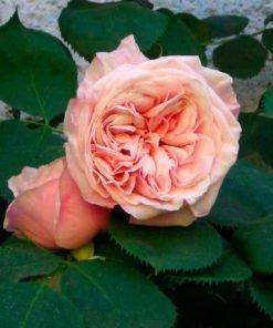 gribaldo_nicola rose novaspina