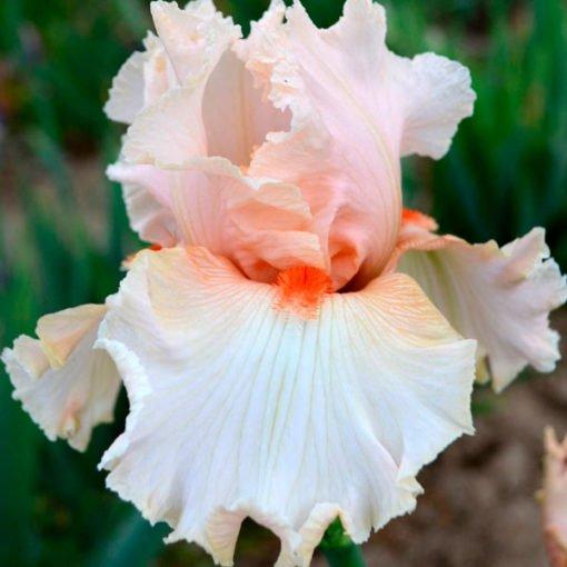 guilt free sample iris novaspina