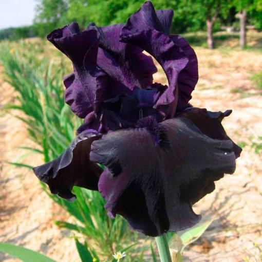 hellodarkness iris novaspina