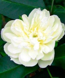 ibridodicastello rose novaspina