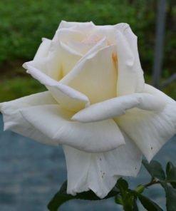 ilaria-alpi rose novapina