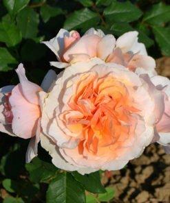 kizuna rose novaspina