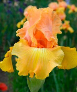 leadinglight iris novaspina