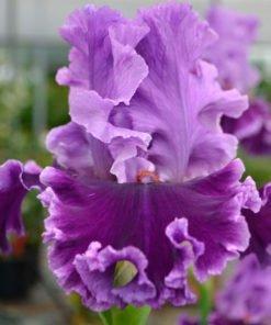 louisasong iris novaspina
