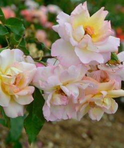 ludivinemassad rose novaspina