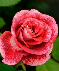 maestro rose novaspina